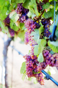 grapes during daytime