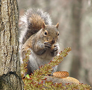 squirrel eating pine cone on brown branch