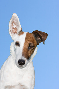 photo of short-coated white and brown dog