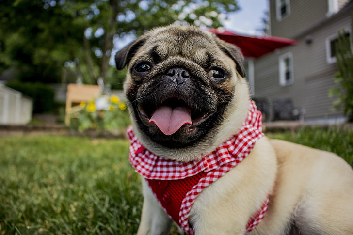 Royalty-Free photo: Pawn Pug on green grassland | PickPik