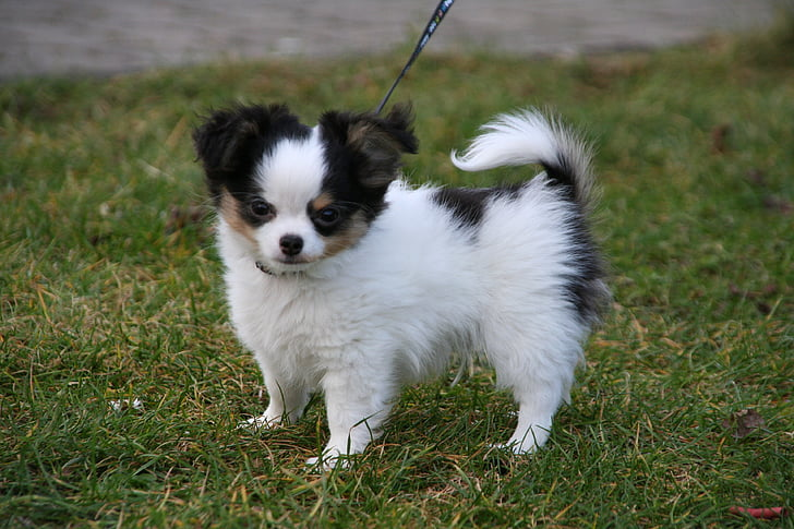 white and black Chihuahua puppy on green grass