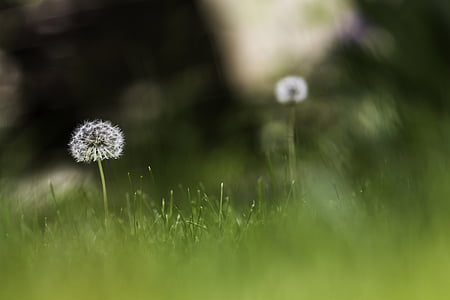 white dandelion seed head in selective focus photography