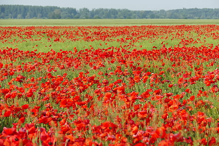red poppy flower field