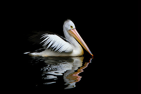 white pelican floating on water