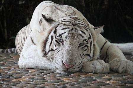 white and black tiger illustration