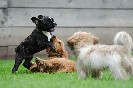three dogs playing on green grass field