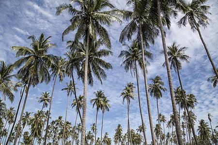 palm, tree, trees, palm tree, palm trees, tropical