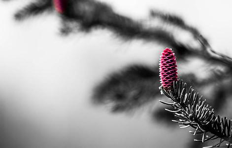 macro photography of pink pinecone
