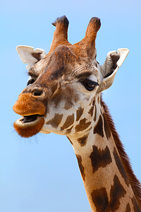 closeup photo of giraffe
