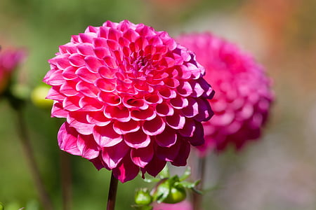 selective focus photography of pink dahlia flowers