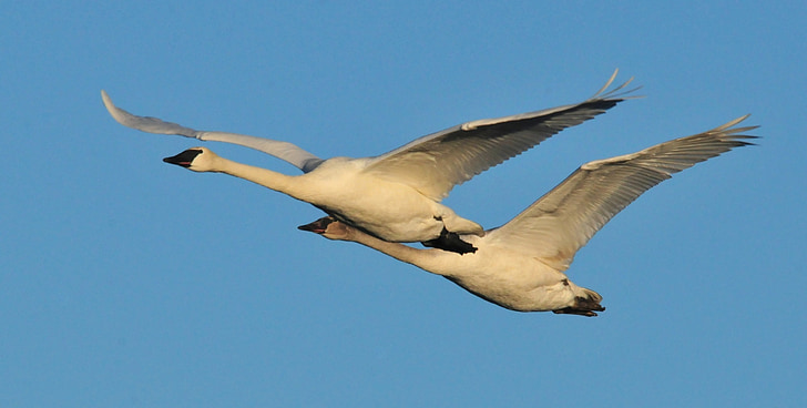 two geese flying on air