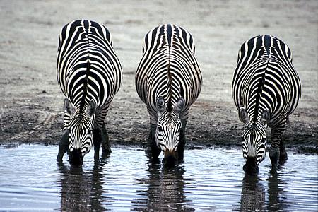 three Zebras drinking water during daytime