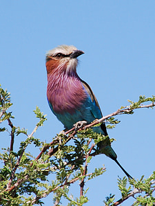Indian roller perched on tree during daytime