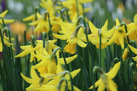 field of wild daffodil