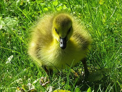 yellow duckling on green grass field