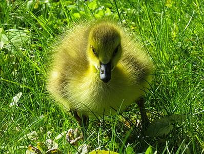 yellow duckling on green grass field