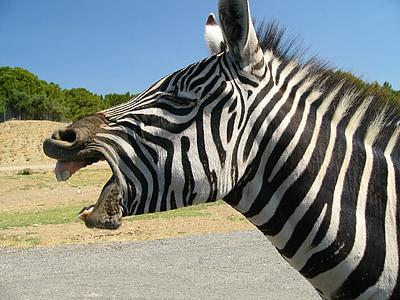 zebra standing at open field