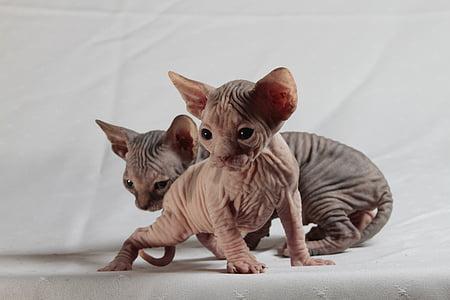 two tan Sphinx kittens