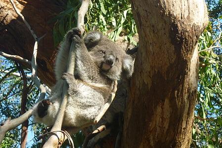 Kuala hanging on tree