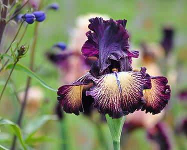selective focus photography of yellow and purple tall bearded iris flower