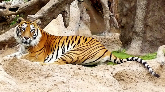 tiger lying on sand during daytime