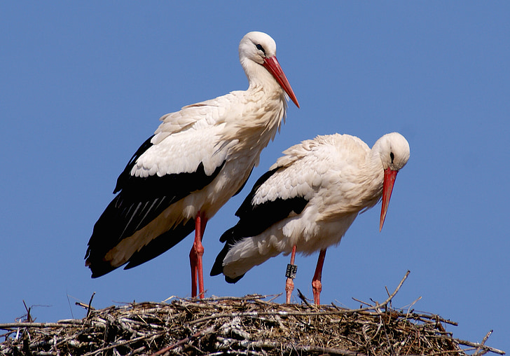 two white flamingos standing on nest
