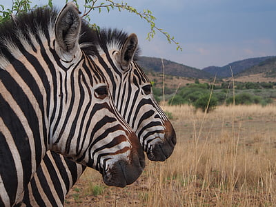 two zebras standing on dried grass