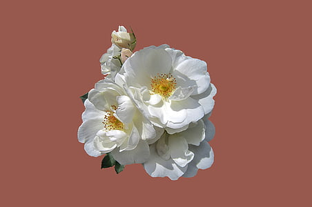 white rose flowers with pink background