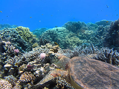 brown sea turtle swimming above corals