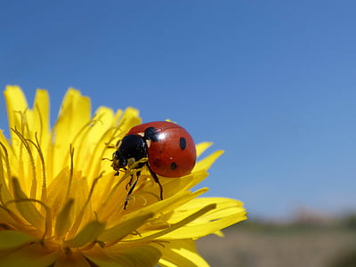 red and black ladybird on yellow daisy