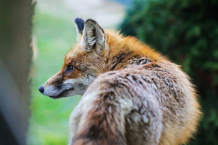 selective photo of red fox