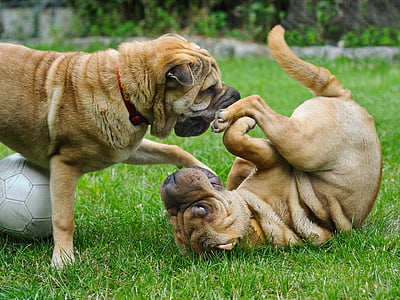 two Chinese shar pei playing on grass field