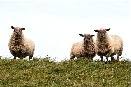 brown sheeps on green lawn during daytime