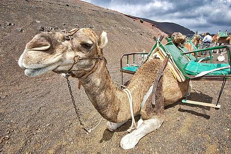 camel lying on sand