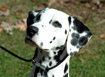 adult black and white Dalmatian