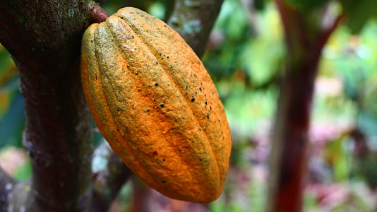selective focus photograph of cacao fruit