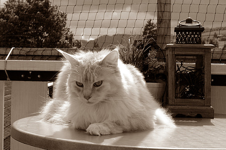 selective color photo of white cat on table