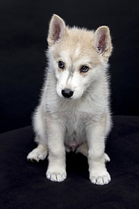 short-coated white and gray puppy