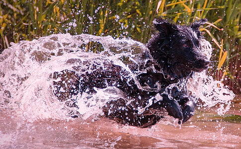 adult black Labrador retriever in body of water