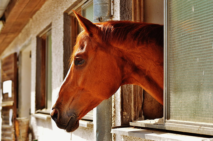 Royalty-Free photo: Brown horse putting head out of window | PickPik