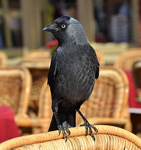selective focus of crow on wicker chair backrest