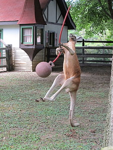 kangaroo playing ball near house