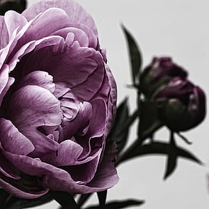 purple peonies HD wallpaper