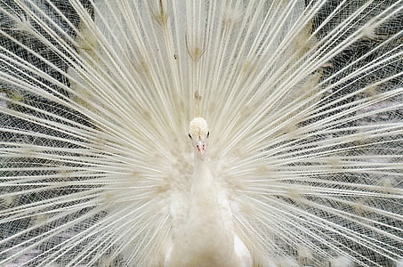 close-up photography white peacock