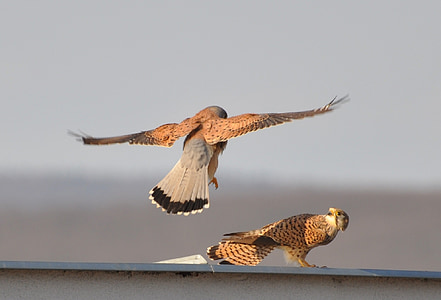 two peregrine falcons perched on white wall