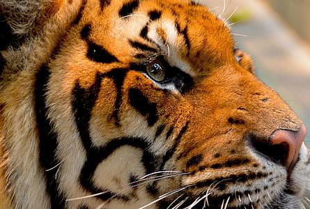 wildlife photography of Bengal tiger