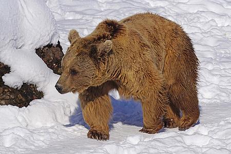 brown bear on snow