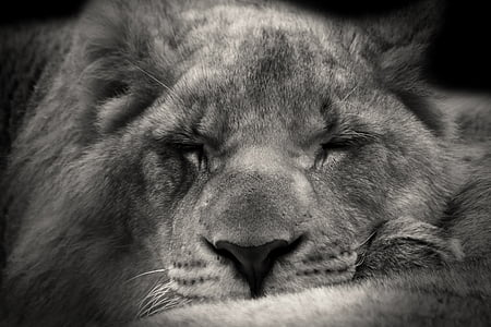 greyscale photo of lioness