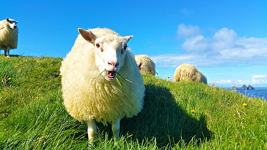 wildlife photography of white sheep on green grass