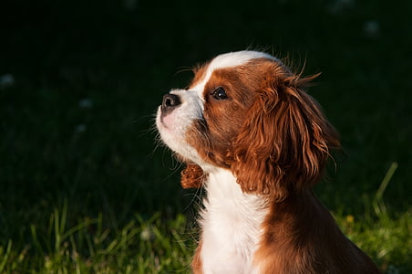 tan and white Cavalier King Charles spaniel puppy